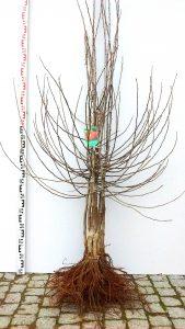sadzonka drzewka