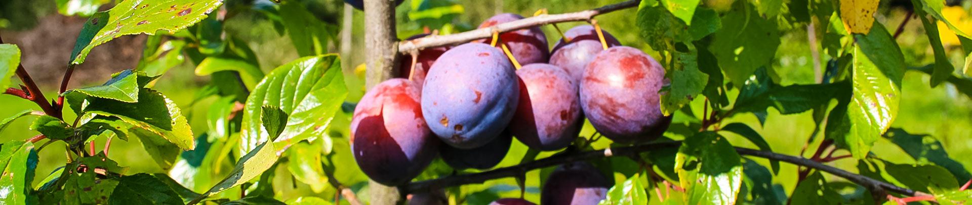 Śliwy – sadzonki drzew jednorocznych – okulantów