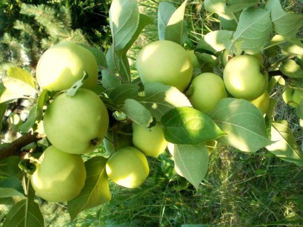 jabłoń oliwka żółta papierówka