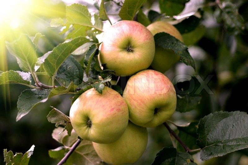 jabłoń  królowa renet złota reneta