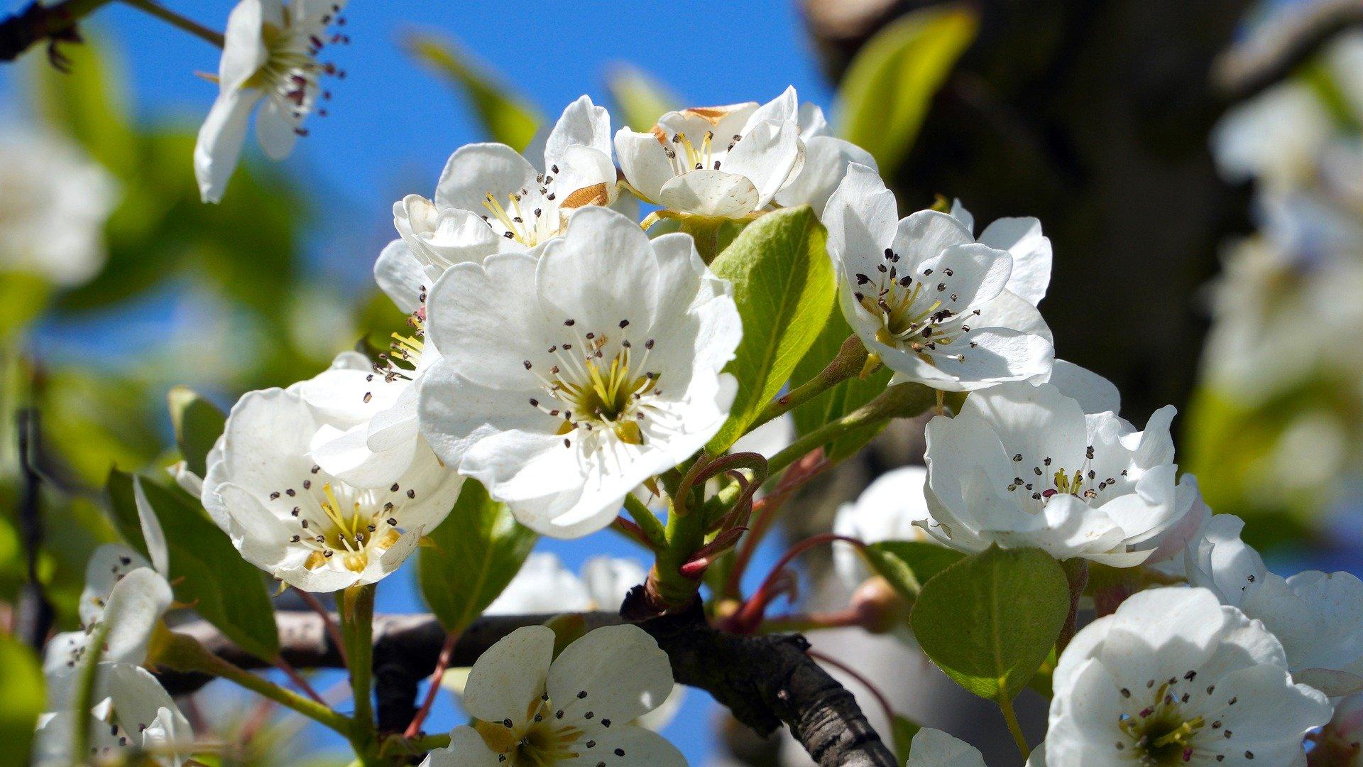 owocowanie przemienne drzew owocowych jabłoni