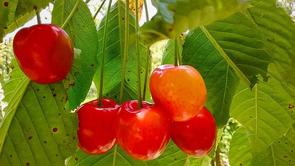 szkółka drzewek owocowych Krzysztof typer Zasów